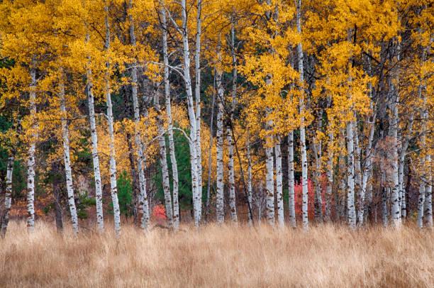 Quaking Aspen bomen in een veld onder de herfst gouden luifel foto