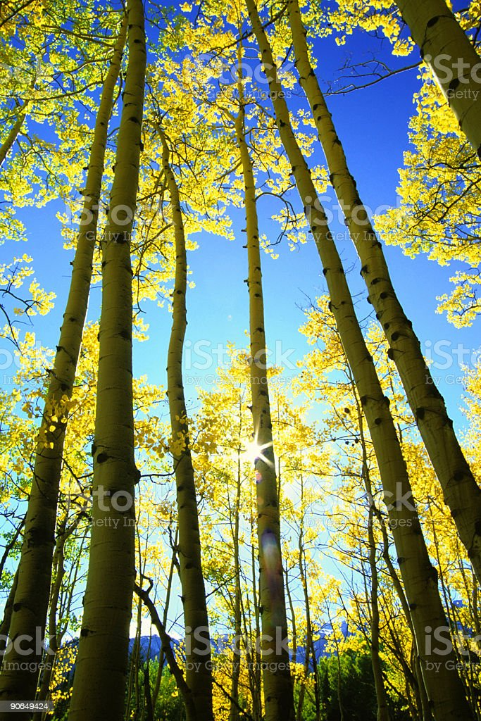quaking aspens and sunstar royalty-free stock photo