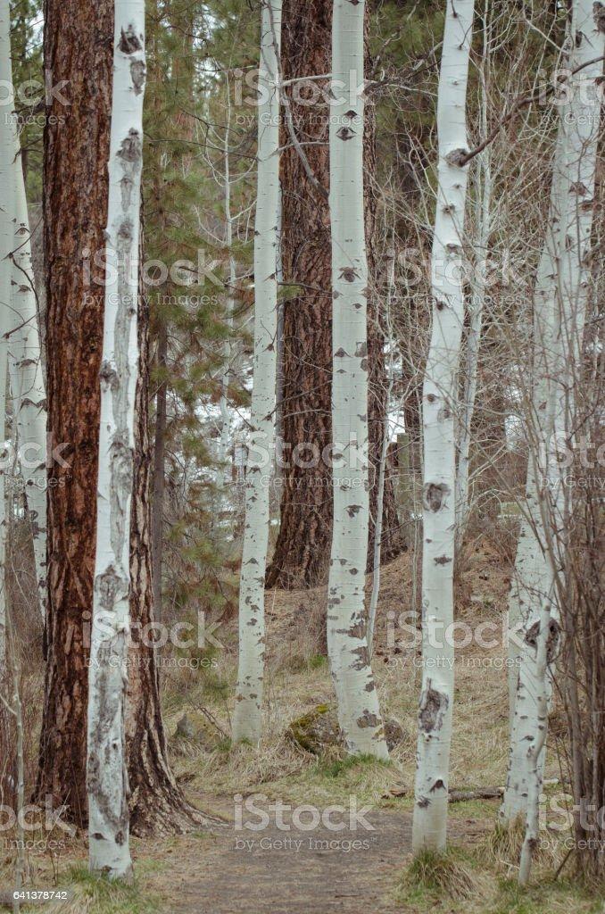 Quaking Aspens on a Path stock photo