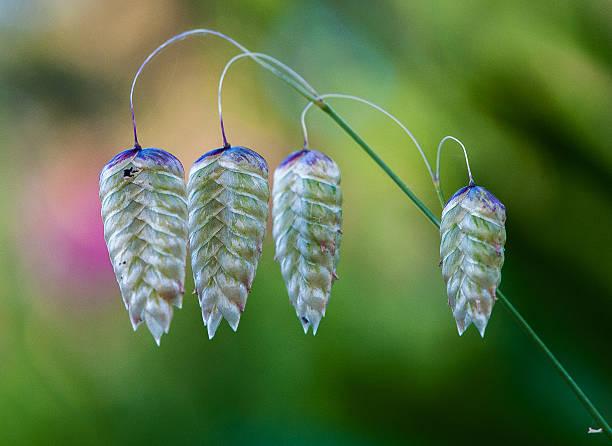 Quaking grass or blowfly grass ('Briza maxima') stock photo