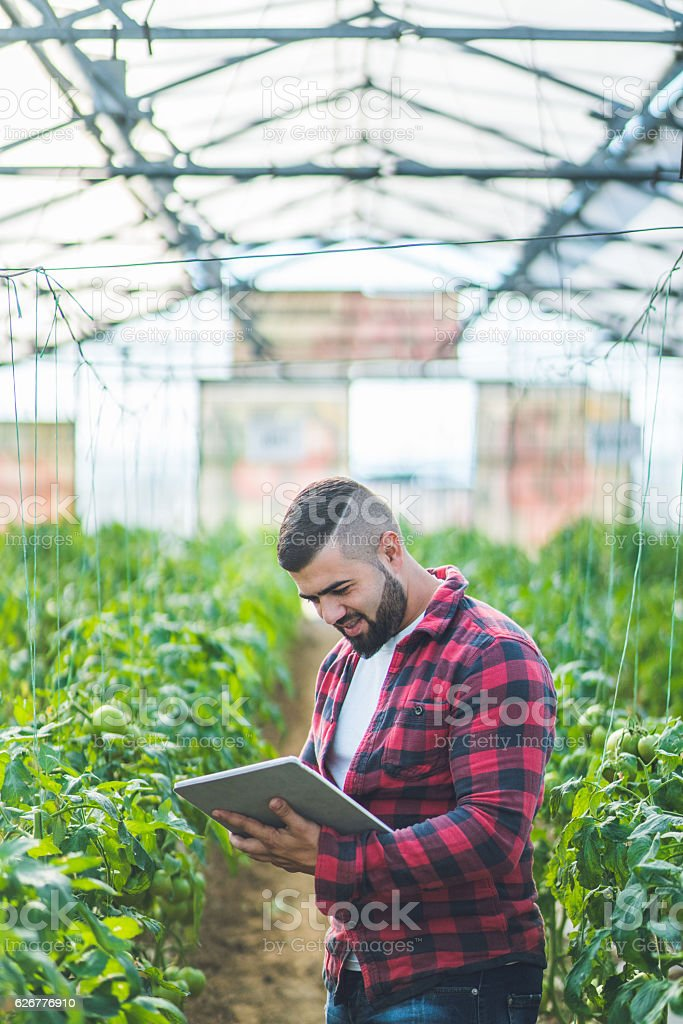 Man is checking quality of the vegetables in the organic farm