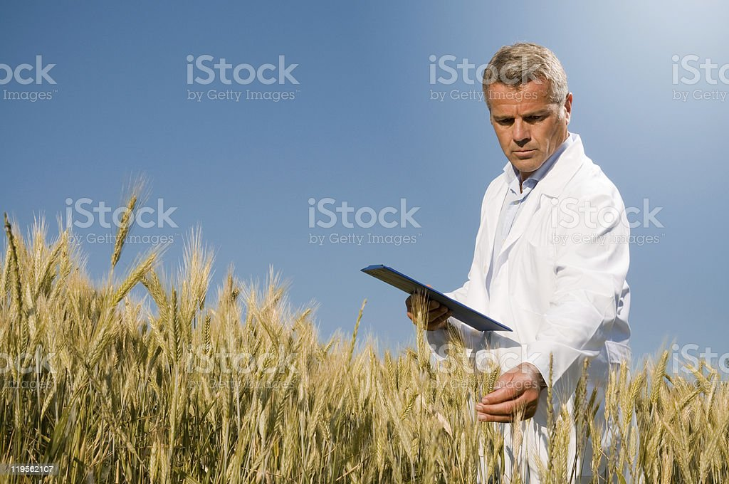 Quality control in wheat field stock photo