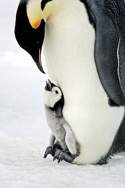 Quality Time!  emperor penguin stock pictures, royalty-free photos & images