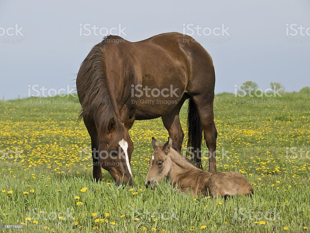 Quarter Horse Mare & Foal in Pasture stock photo