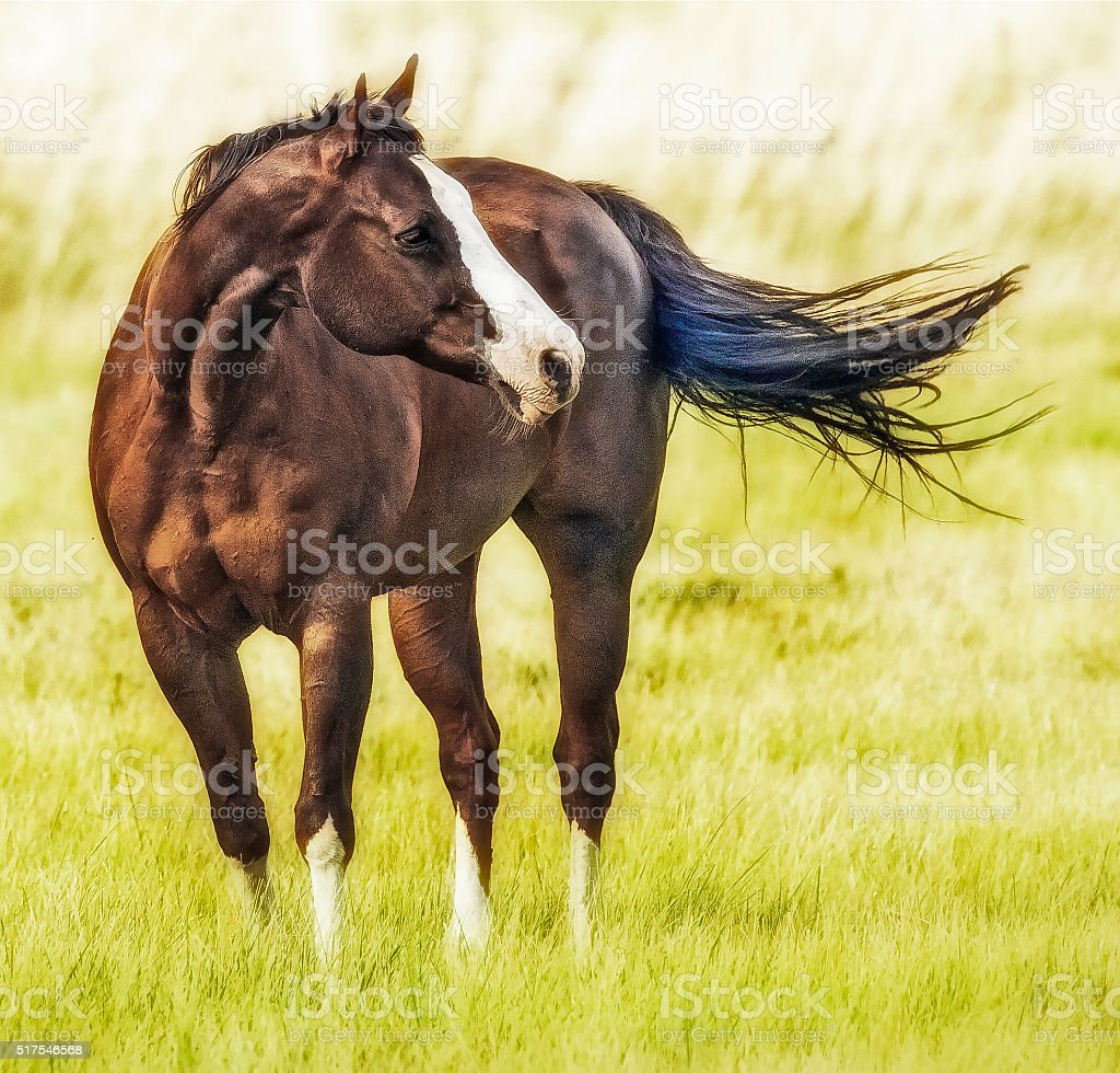 Quarter Horse stock photo