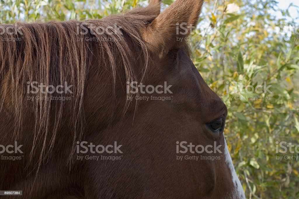 Quarter Horse Portrait - Fall royalty-free stock photo
