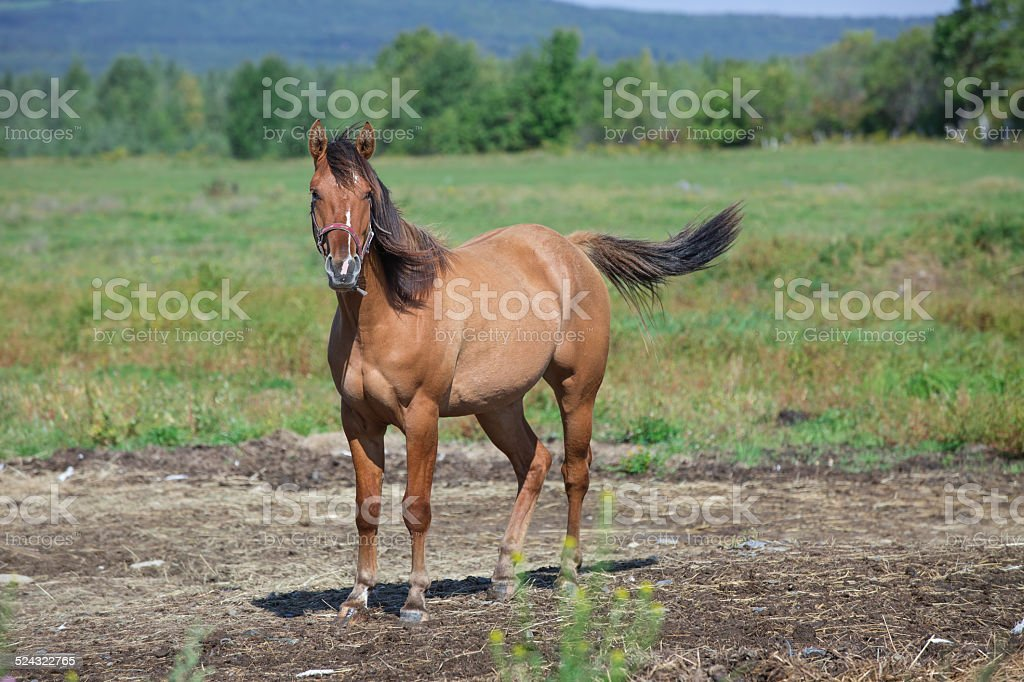 Quarter horse relaxing stock photo