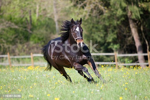 Quarter Horse run free in meadow frontal view