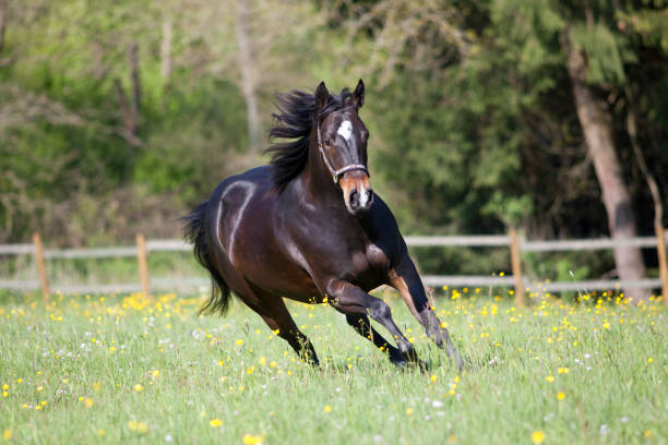 Quarter Horse run free in meadow frontal view stock photo