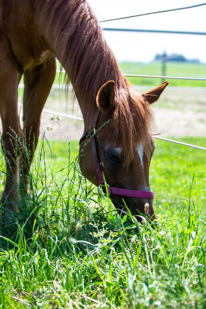 Quarter Horses Grazing stock photo