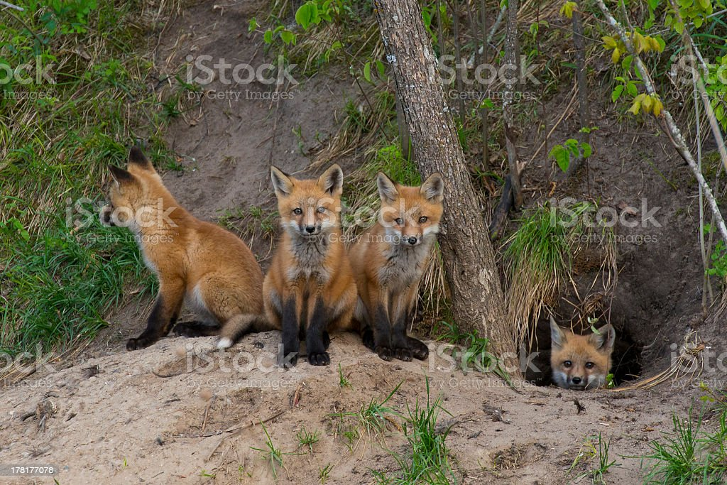 Quartet of baby foxes huddled around opening of burrow stock photo