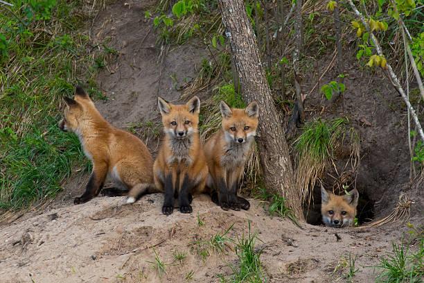 Quartet of baby foxes huddled around opening of burrow stock photo