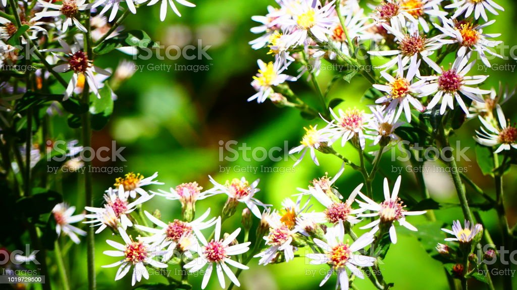 Fleurs Sauvages Du Quebec En Gros Plan Stock Photo Download