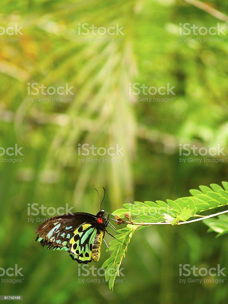 Queen Alexandra's Birdwing (Ornithoptera alexandrae) stock photo