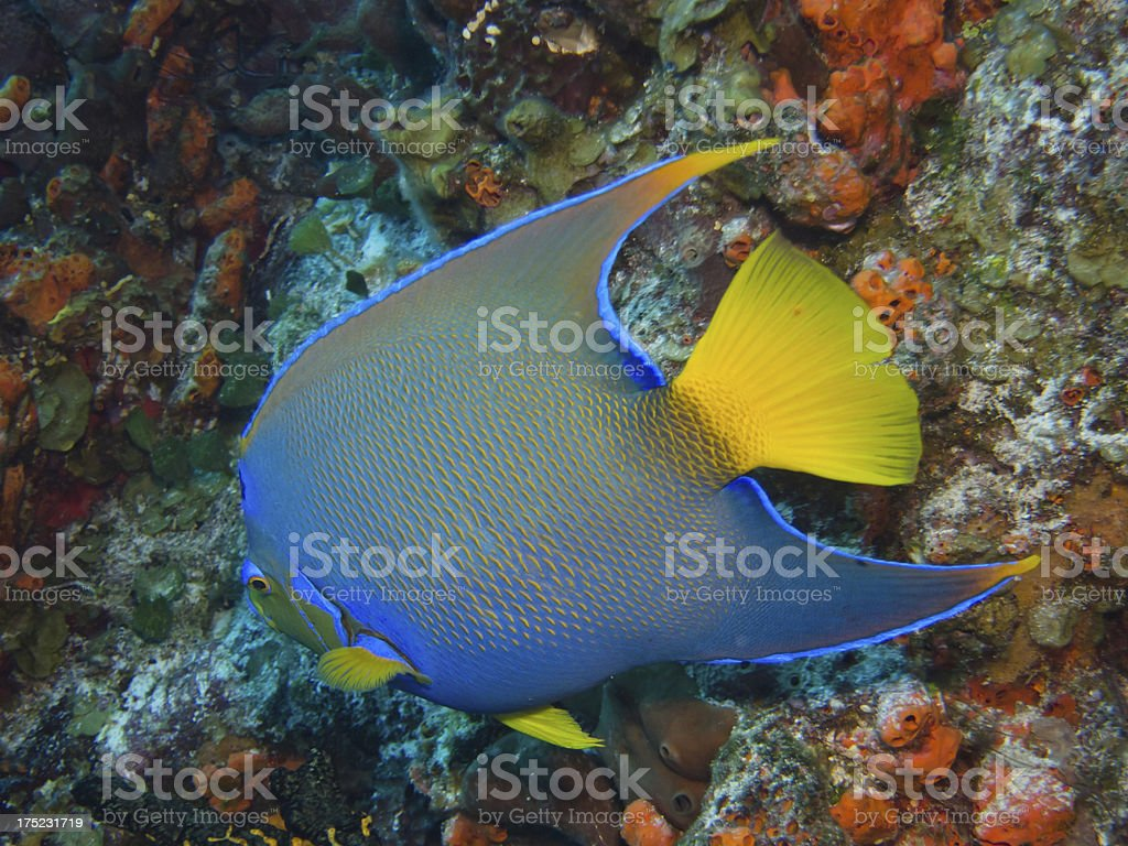 Queen Angel Fish royalty-free stock photo