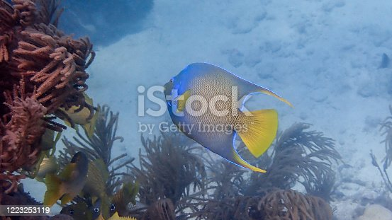Angelfish at a reef. Holacanthus ciliaris.