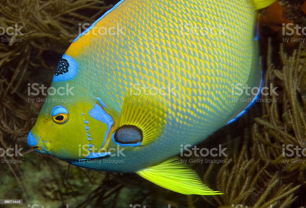 Queen angelfish royalty-free stock photo