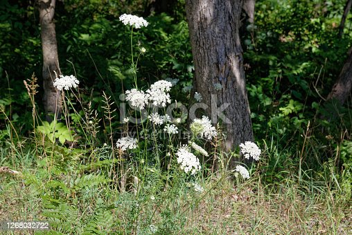 Queen Anne's Lace, daucus carota, growing wild with its white flowers in late summer is often considered a weed but has herbal uses as wild carrot.