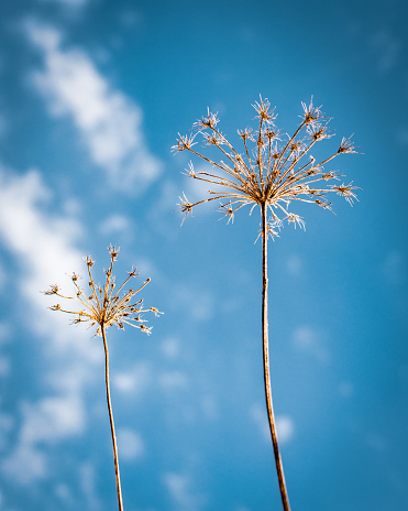 A minimalist close up low angle perspective of a dried Queen Anne's Lace Flower in Winter with a sky blue background with clouds