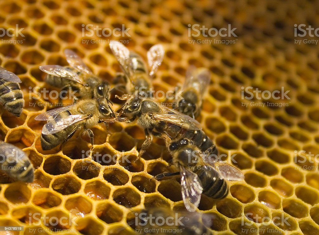 Queen bee royalty-free stock photo