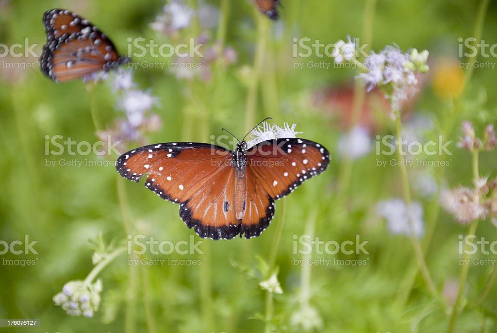 Queen Butterflies stock photo