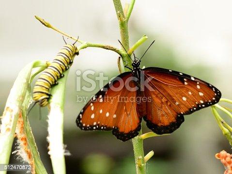 538988558 istock photo Queen butterfly Danaus gilippus and caterpillar 512470872