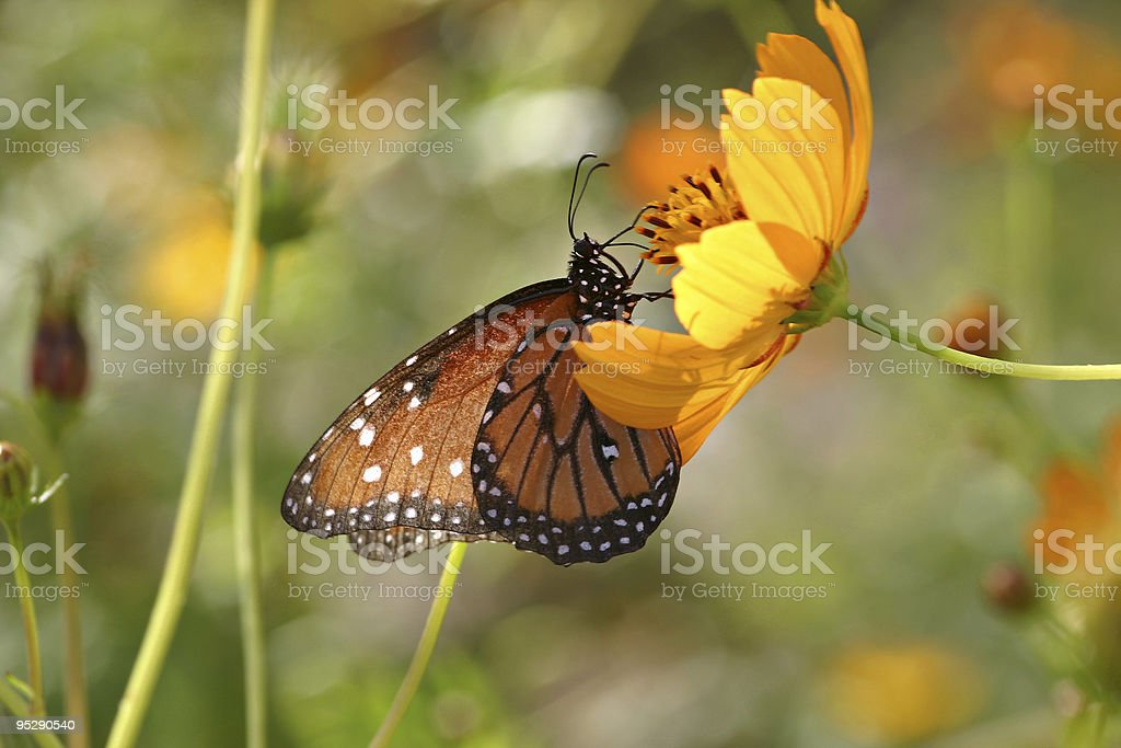 Queen Butterfly Feeding On A Yellow Flower stock photo