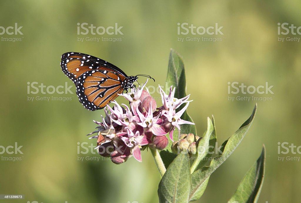 Queen Butterfly on Milkweed stock photo