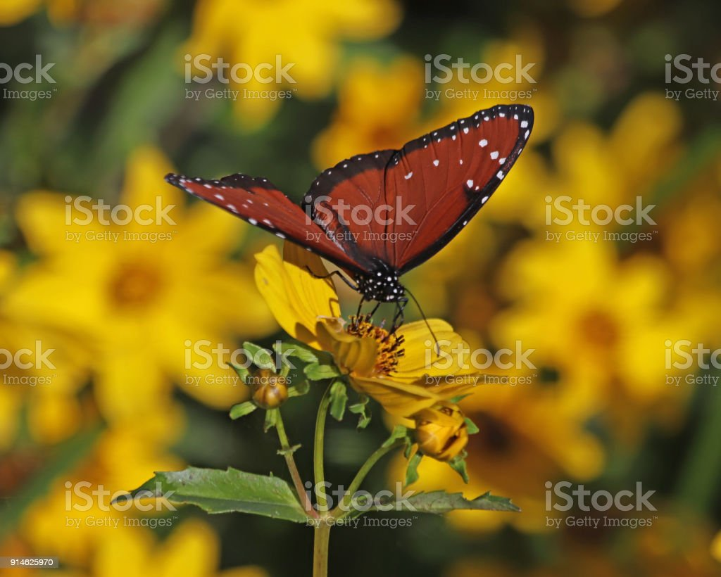 Queen Butterfly On Yellow Flowers Stock Photo More Pictures Of