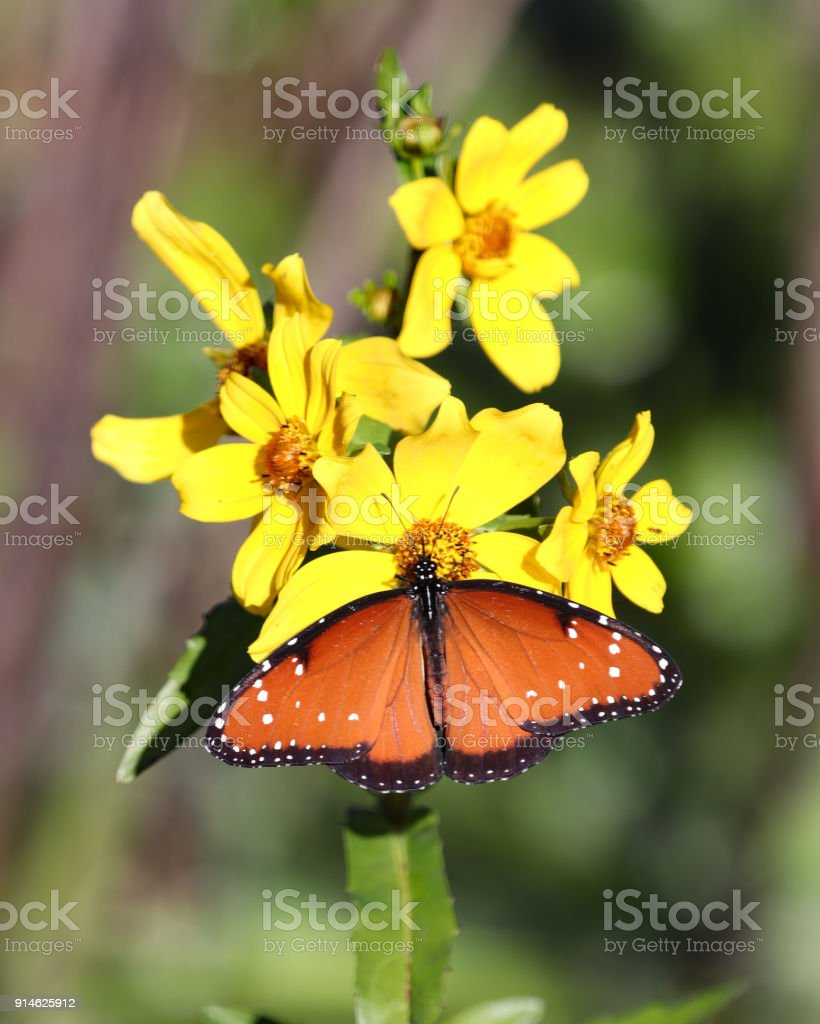 Queen Butterfly On Yellow Flowers With Wings Spread Stock Photo