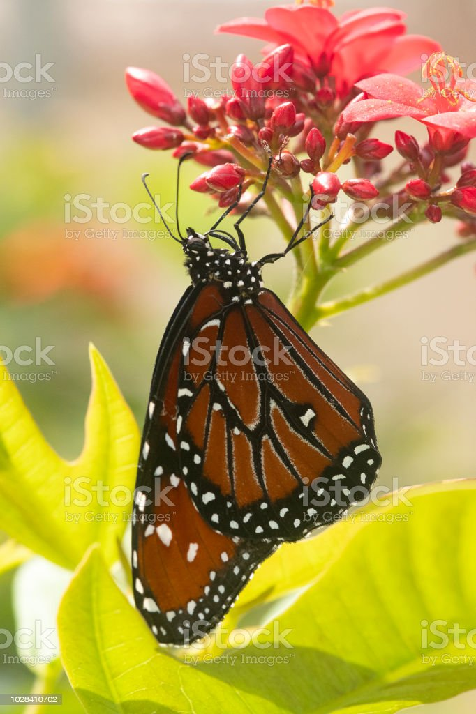 Queen Butterfly stock photo