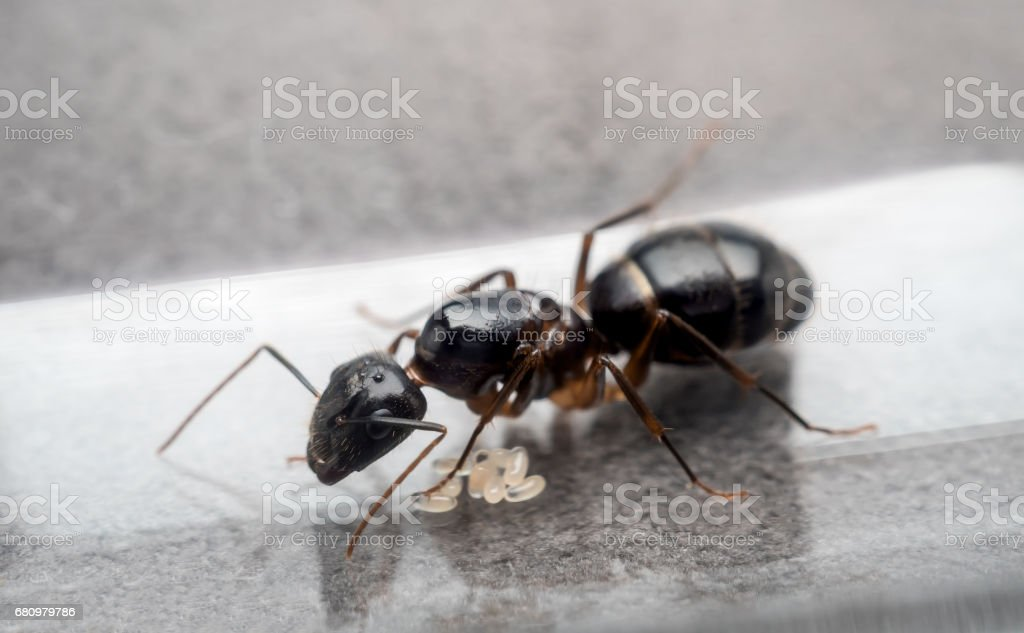 Queen Carpenter ant to prevent eggs stock photo