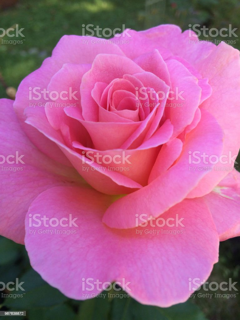Queen Elizabeth Grandiflora Rose stock photo
