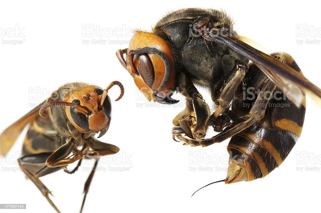 queen of avispón japonés gigante vs. vespa ducalis - foto de stock