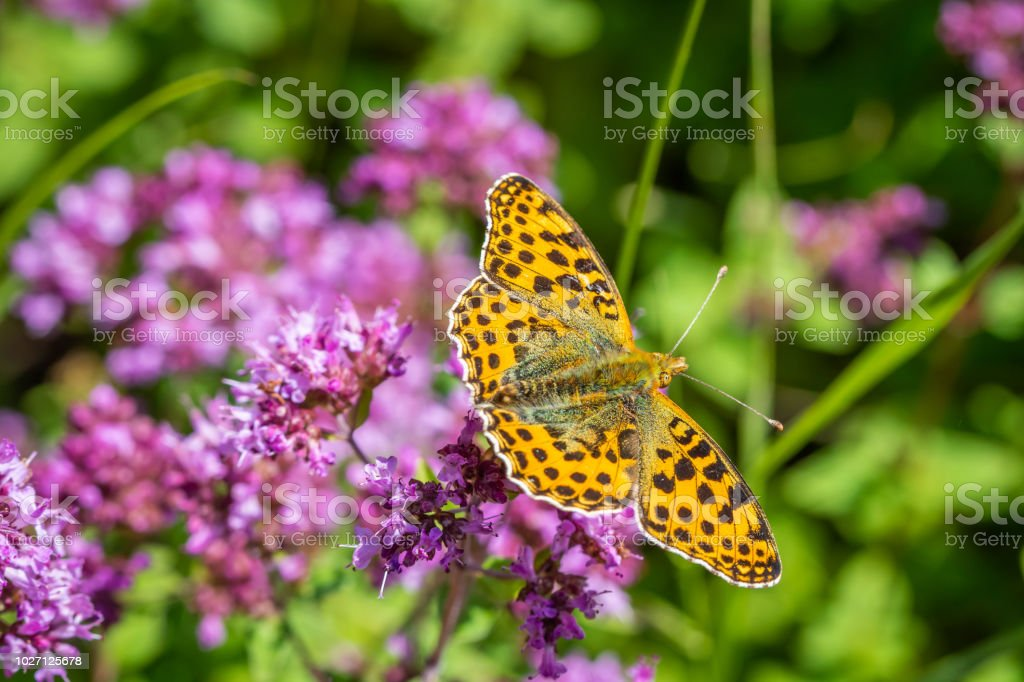 Queen of Spain fritillary foraging on a flower stock photo