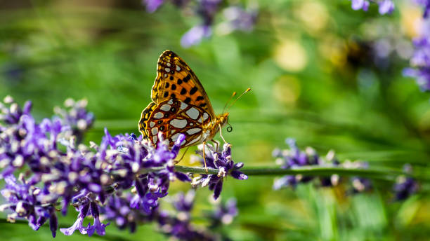 Queen of Spain fritillary (Issoria lathonia) in profile on the blue lavender stock photo