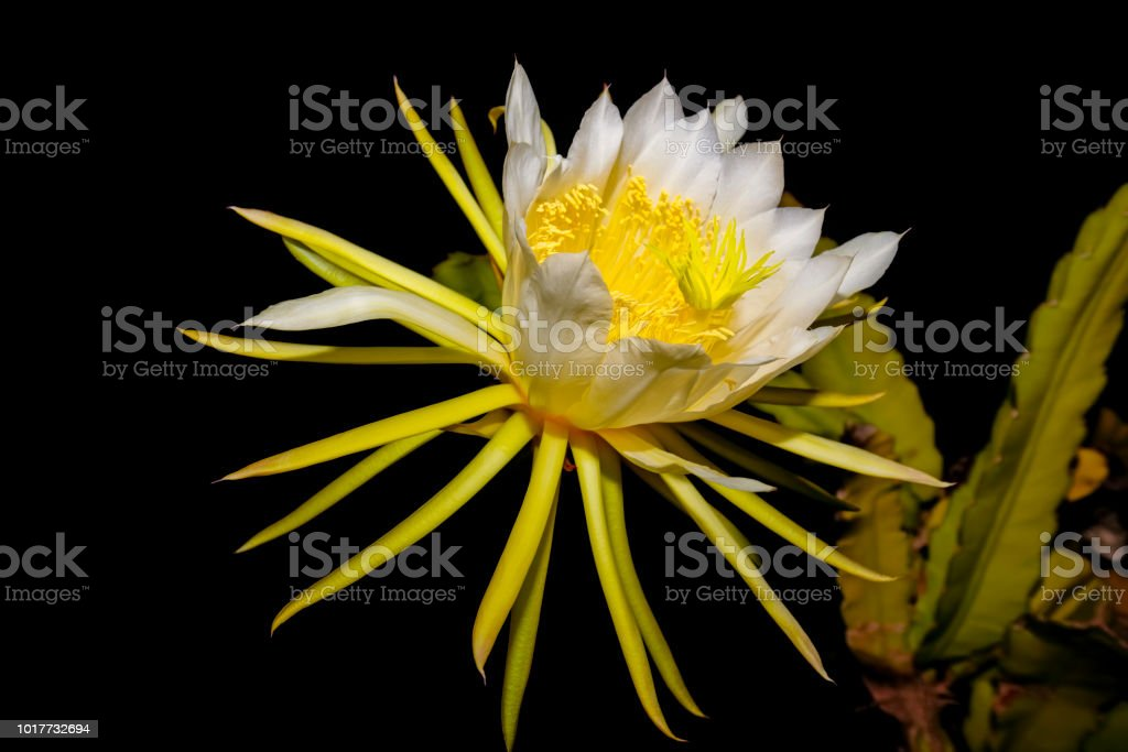 Queen Of The Night Bloom Cactaceae At Night In Majorca Spain Stock