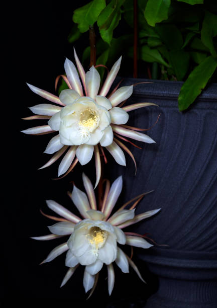 Queen of the Night Blooms stock photo