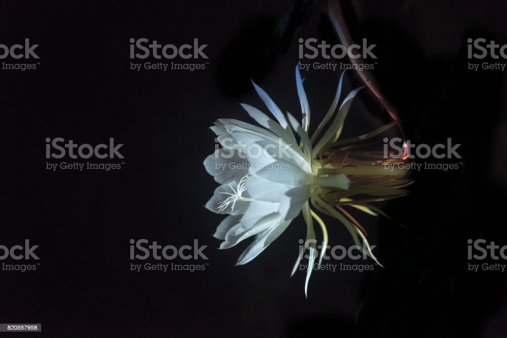Queen of the Night stock photo