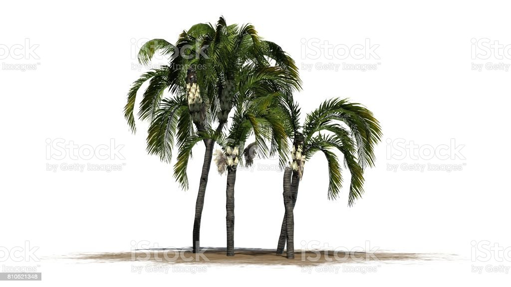 Queen palm on a white background stock photo