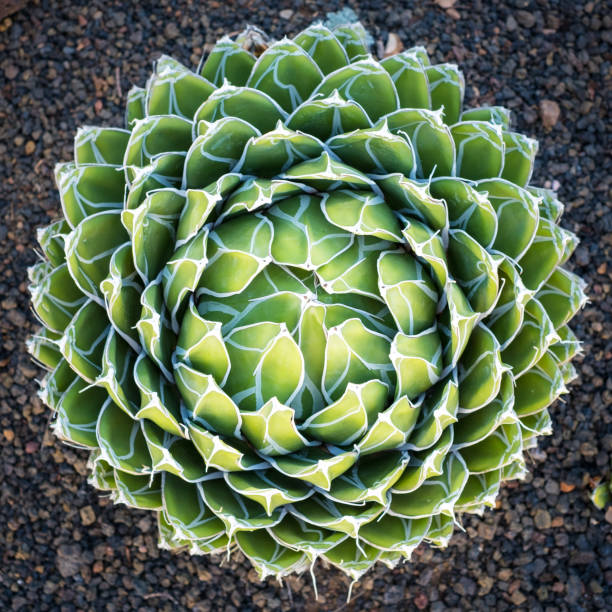Queen Victoria Agave  - round agave plant Queen Victoria Agave  - round agave plant victoria water lily stock pictures, royalty-free photos & images