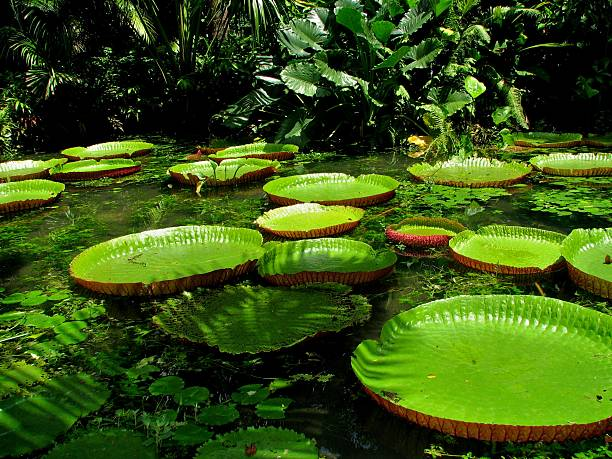 Queen victoria Victoria amazonica victoria water lily stock pictures, royalty-free photos & images