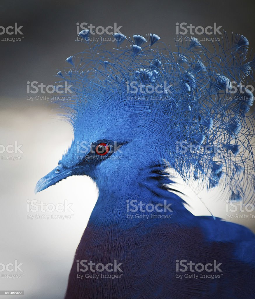 Queen Victoria Pigeon royalty-free stock photo