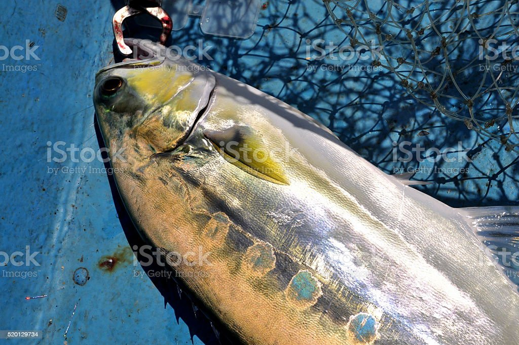 Queenfish in the hook and fishing net royalty-free stock photo