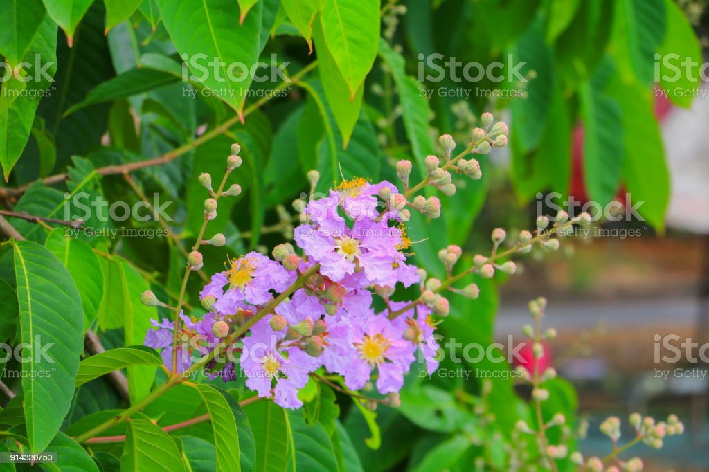 Queen's flower, Lagerstroemia macrocarpa Wall. purple  beautiful on tree stock photo