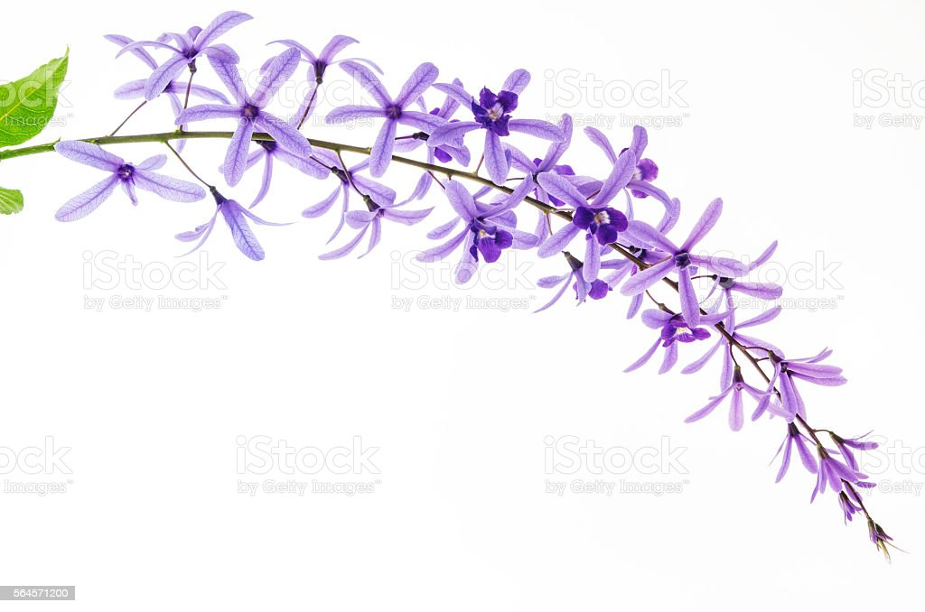 Queen's Wreath or Sandpaper Vine on white background stock photo