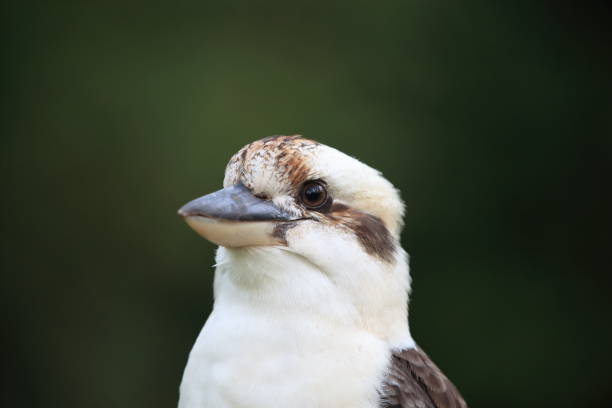 queensland, australie, nouveau, sud, wales, debout, assis, eucalyptus, arbre de gomme, arbre de gomme, eucalyptus, oiseau australien, trentham, deux kookaburras, coloré, détail, animal, kookaburra riant (Dacelo novaeguineae) Queensland, Australie - Photo