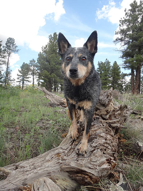 Queensland Blue Heeler standing on log in forest stock photo