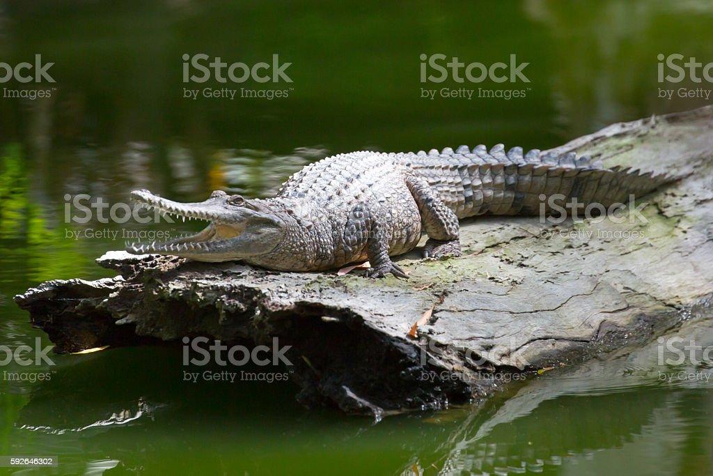 Queensland Crocodile stock photo