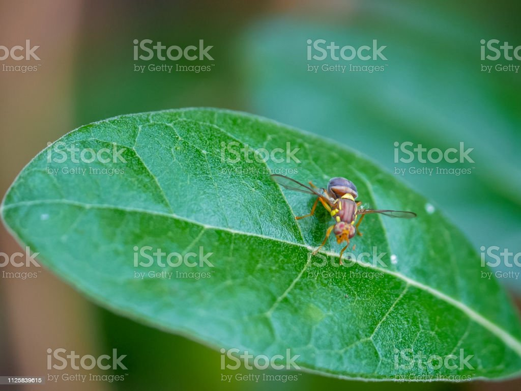 queensland fruit fly on a feijoa leaf stock photo